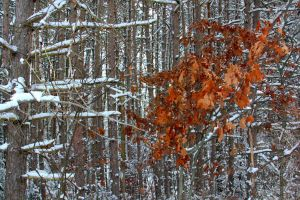 Snowy Woods 09 by Adeimantus