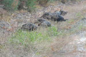 Gobble, Wild Turkeys By the Side Of the Highway by Miss-Tbones