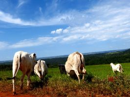 Cows by tariqui