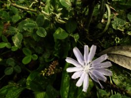 Chicory by DenyG