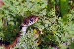 Grass snake by SnowPoring