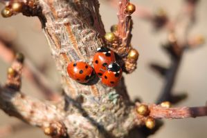 ladybird love by tap69