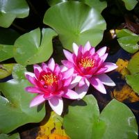Water Lily by Tpl-photo