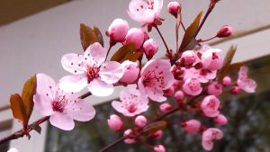 Cherry Blossoms II by creativesam