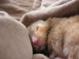 My sleeping hamster by Calicoe