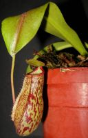 Nepenthes Red Leopard 2 by DETHCHEEZ