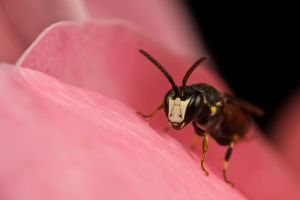 White Faced Bee by dalantech