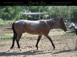 quarter horse stock 13 by tragedyseen