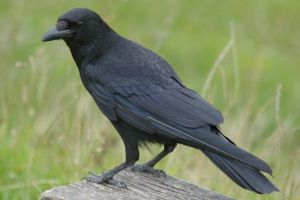 crow by rainbowphotos