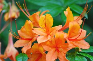 Orange flowers by Missmith91