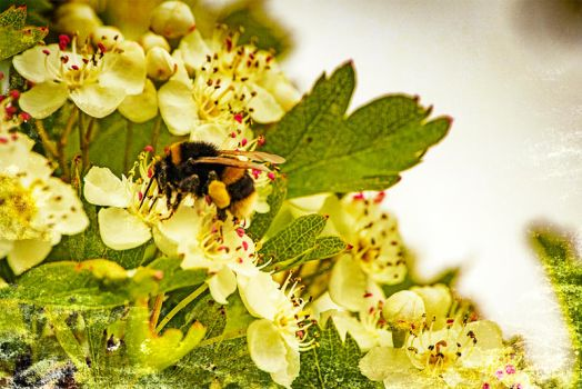 A Bumble Bee Feeding On Some Crataegus Flowers by fineartbyandrewdavid