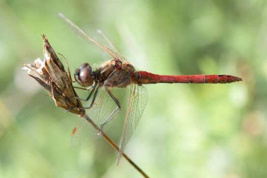 Red Dragonfly 1 by QuadWord