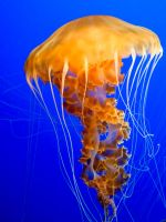 Sea Nettle by jezebel144