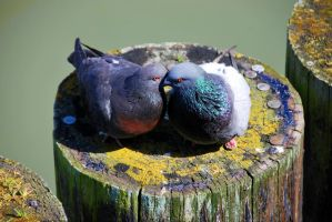 Lovebirds by Ringting