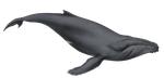 Illustration, Humpback Whale by dio-03