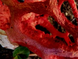Clathrus Ruber 2 by BergOpZoom