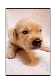 puppy golden 22 by WeiTat