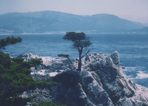 Lone Cypress Tree by luvtulips