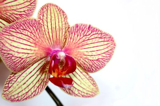 Orchid by Melhyria