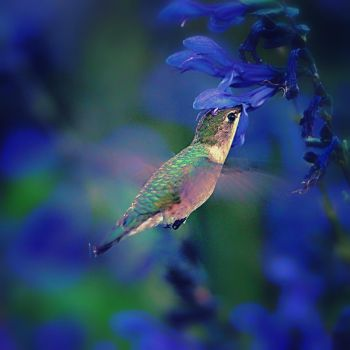 Immature Black Chinned Hummingbird by clippercarrillo