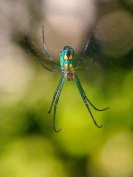 Little Orchard Spider in Web by FallOut99