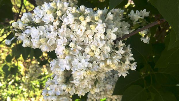 Whitenning lilac by birographic
