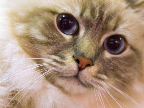 Cat Show: Blue Eyes by TomiTapio