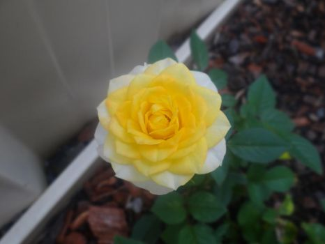 Yellow Rose by veryevilmastermind