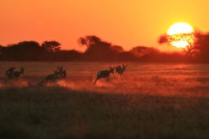 Springbok Sunset - African Wildlife Beauty by LivingWild