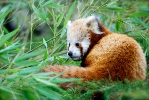 Red Panda - Just Chillin' by Frangster
