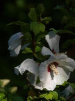 Rose of Sharon Stock 07 by botanystock