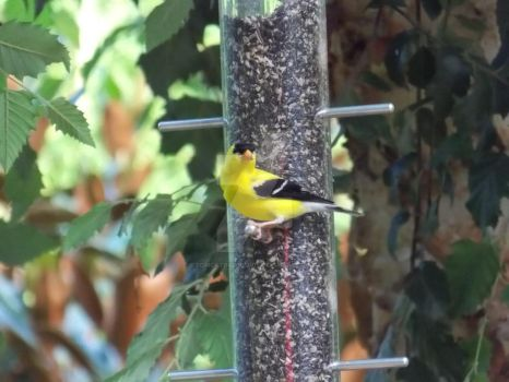 American gold finch by TomcatingHoovie