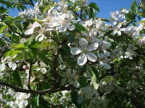 Apple Blossoms II by violetlily13