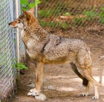 Red Wolf Stock 65 by HOTNStock