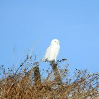 Male Snowy Owl by sgt-slaughter