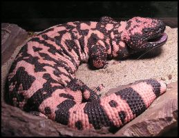 Gila Monster Stock by TalkStock