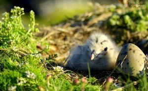 young gull by Uerskolt