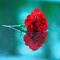 Red Carnation by incolor16