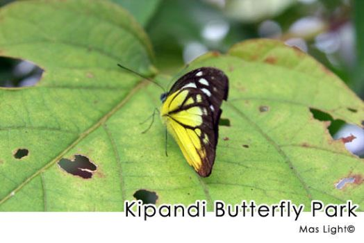 Kipandi Butterfly by maslight