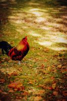 Rooster in park by Candilux
