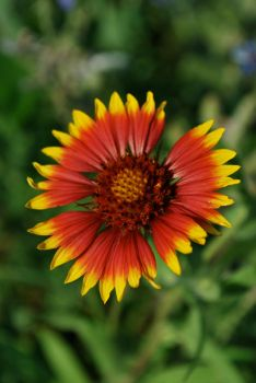 Blanket Flower by exit20one
