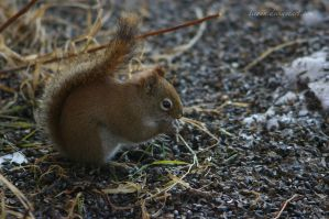 Hungry squirrel 2 by ticoun