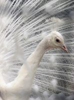 White Peacock 2 by Ashleys-Creations