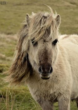Dartmoor pony by LuxLucie