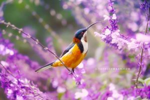 .:: Eastern Spinebill ::. by Whimsical-Dreams
