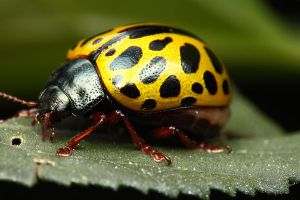 Yellow beetle side view by gmazza