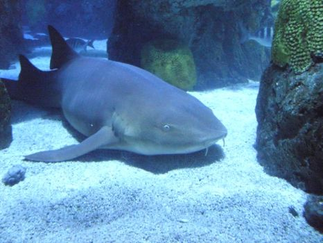 Nurse Shark by MariaBloodwell