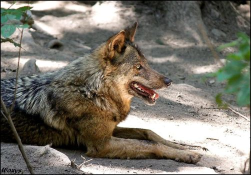 Iberian wolf - simply UNIQUE by woxys