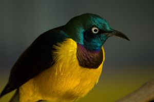 Golden Breasted Starling - 1 by toshema