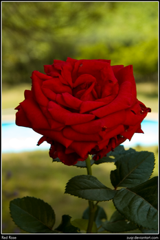 Red Rose by ZuqR